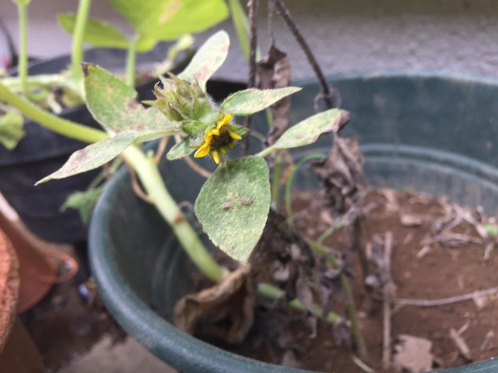何とか咲こうとするひまわり&アワダチグンバイ