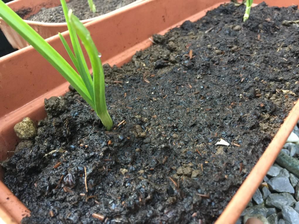 ニンニク 発酵堆肥入り苗