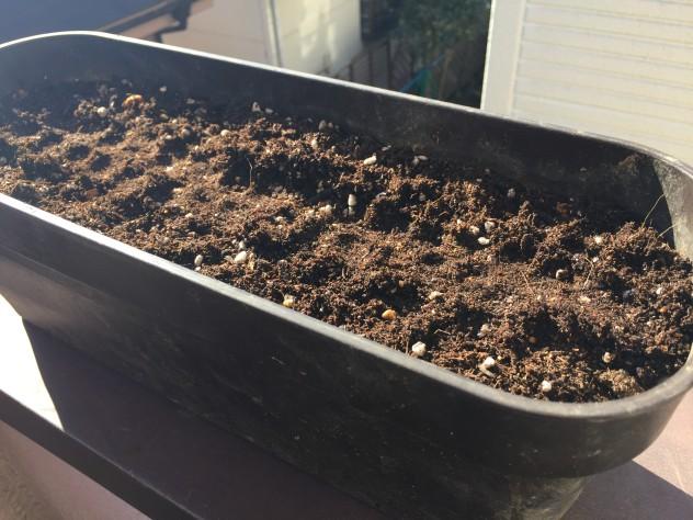 ビタミン菜(有機培養土と若葉2号)