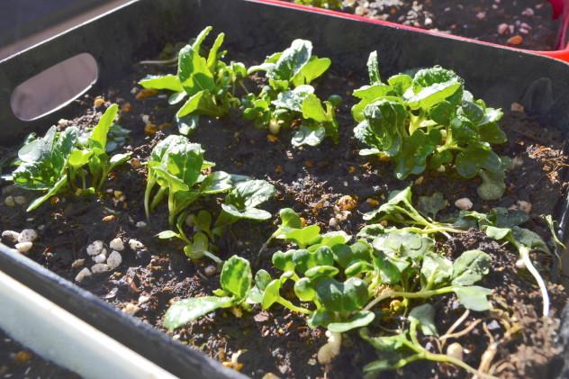 ビタミン菜(発酵堆肥)