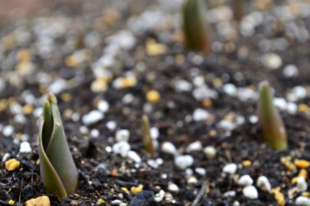 チューリップの出芽確認