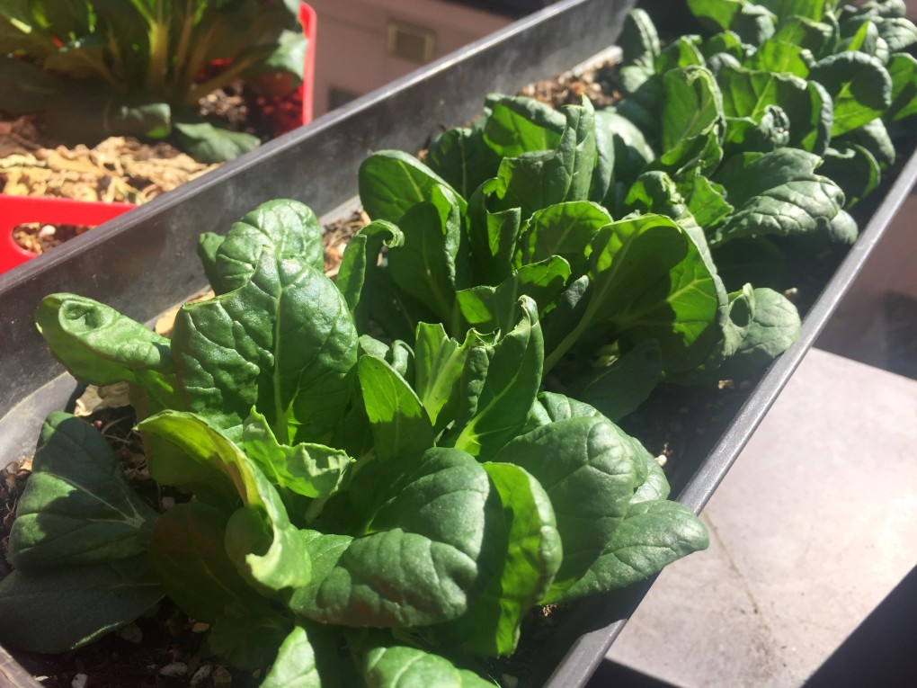 ビタミン菜(市販培養土)
