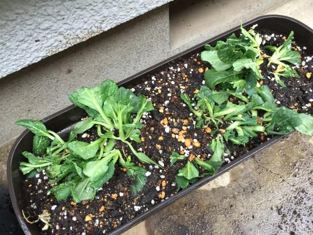 3月5日ビタミン菜(ヨトウムシ確認後に植え替え)