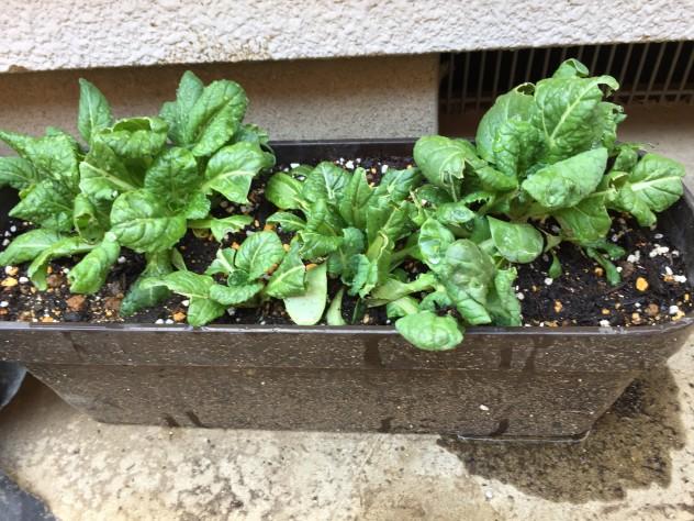 3月12日ビタミン菜(市販培養土鉢)