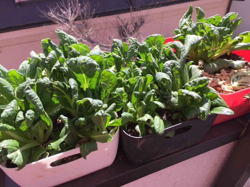 3月12日ビタミン菜(鳥による食害後復活した様子)