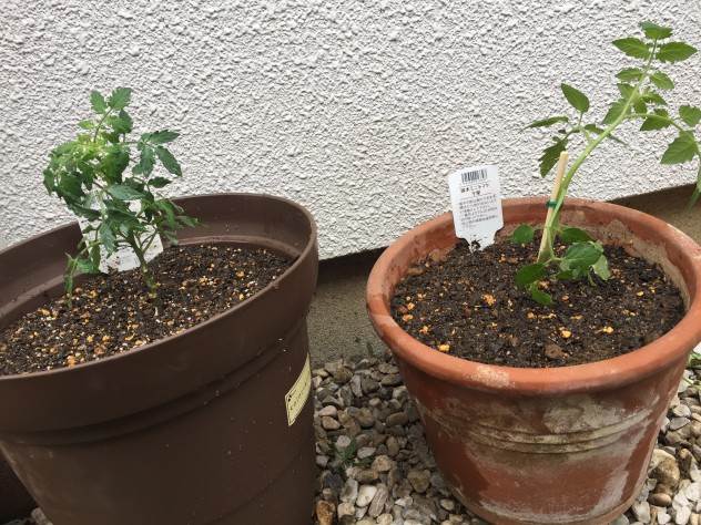 トマト苗|植え付け直後