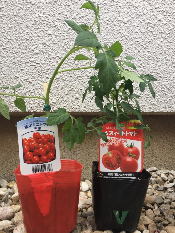 トマト苗 購入した中玉トマト・ミニトマト
