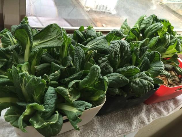 ビタミン菜(右から卵の殻・発酵堆肥・全粒粉小麦)