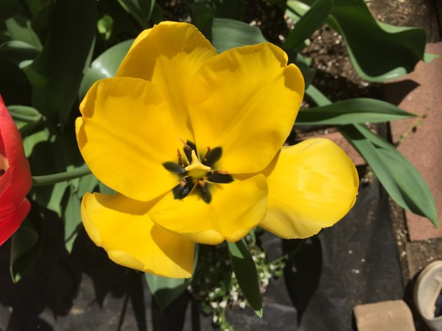 黄色チューリップ (4月1日ころ開花)