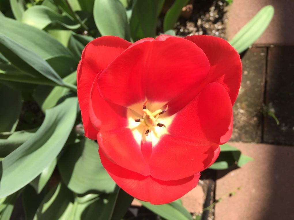 赤チューリップ (4月1日ころ開花)
