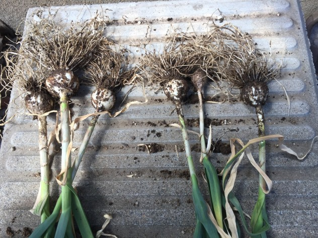 ニンニク(左:発行堆肥、右:コーヒー粕)