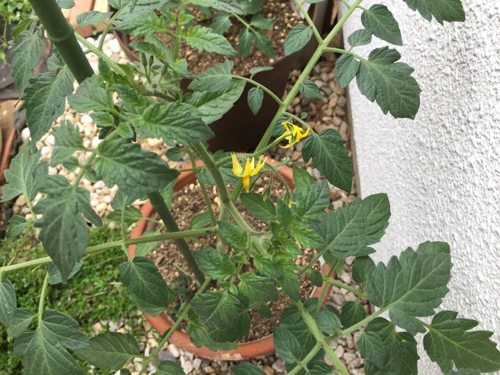 トマト苗|ミニトマト