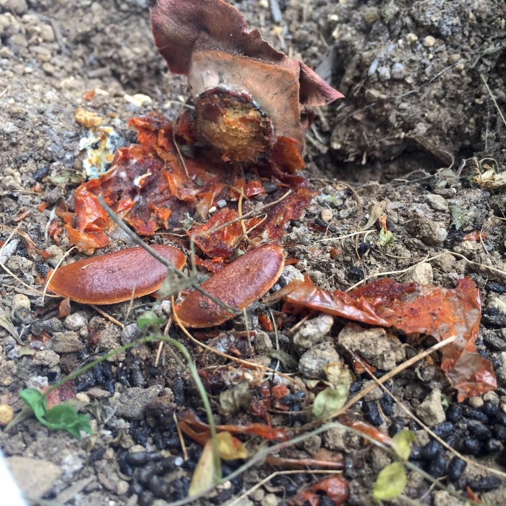 一気に消化された土の上の柿