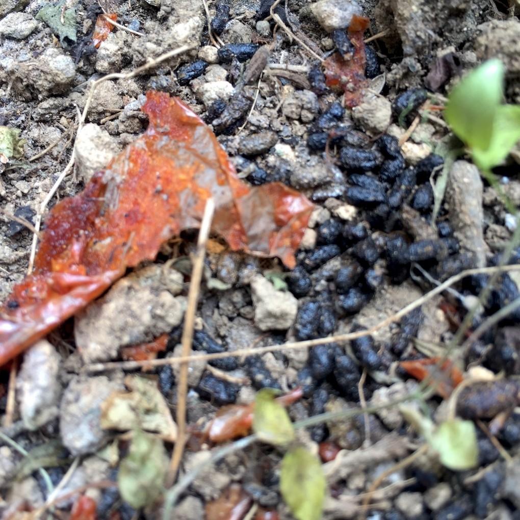 柿を消化したと思われる生物の糞