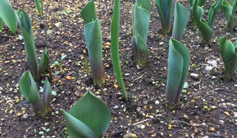 11月頃に植え付け発芽したチューリップ