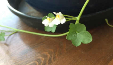 二階の窓べの鉢で育ち開花ツタバウンラン(2019年3月)