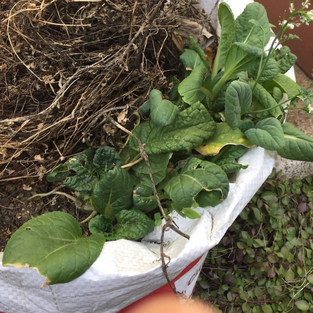 袋栽培のビタミン菜