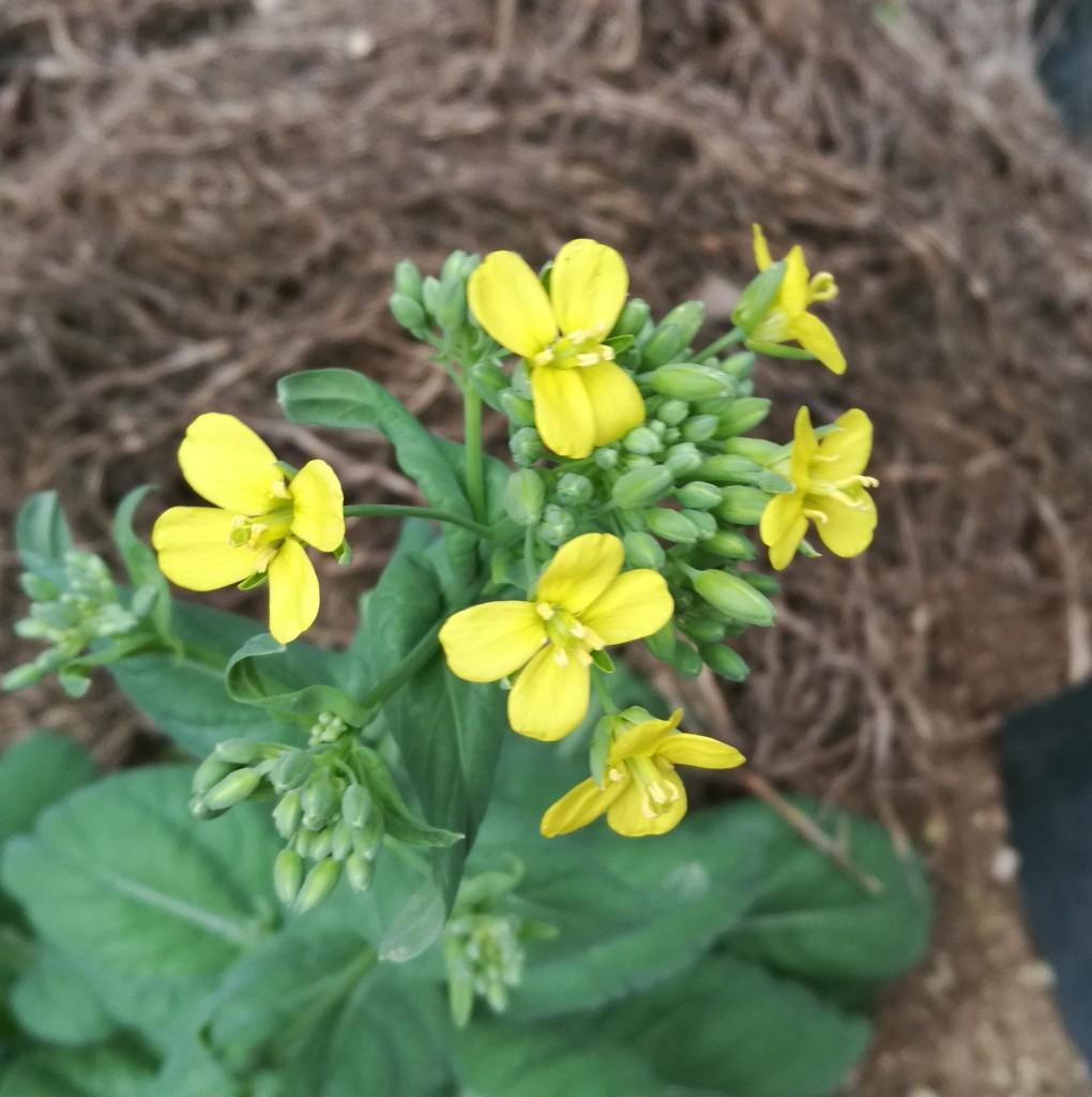 開花したビタミン菜の花