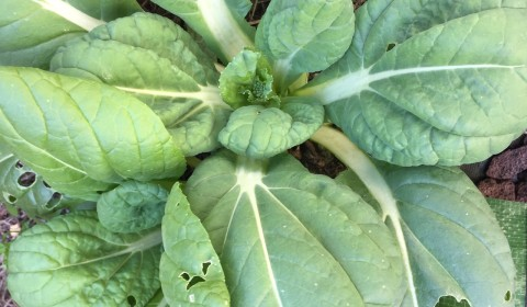 ビタミン菜(とう立ち)