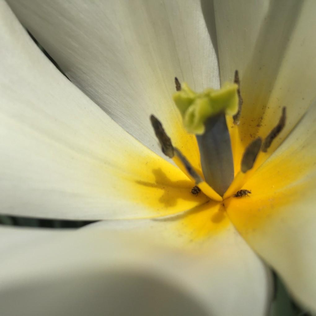 チューリップの花のなかの虫