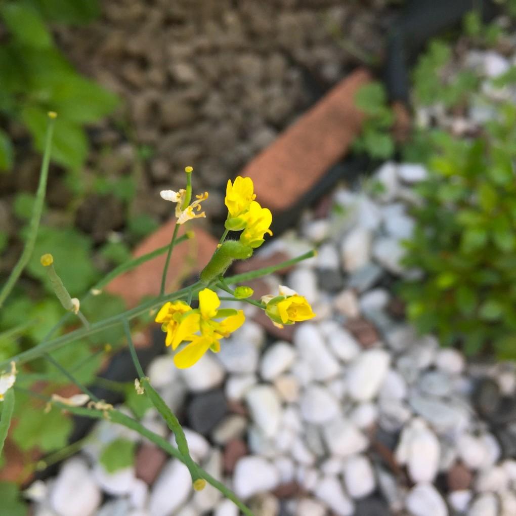 ビタミン菜の花を食べる芋虫