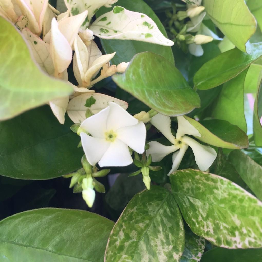 ハツユキカズラの白い花