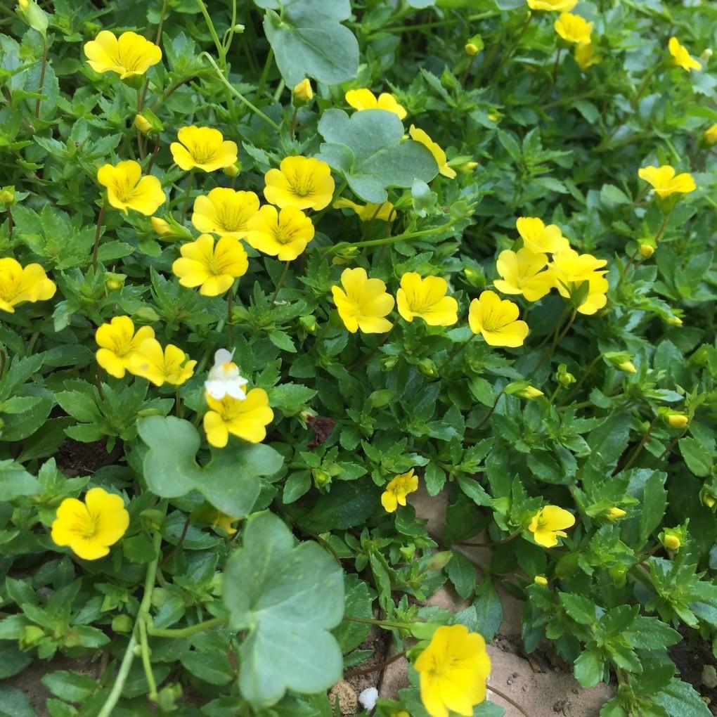 キバナオトメアゼナの開花