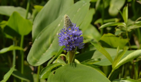 クマツヅラ系統?の沼地の紫の花(入間川河川敷狭山市付近)