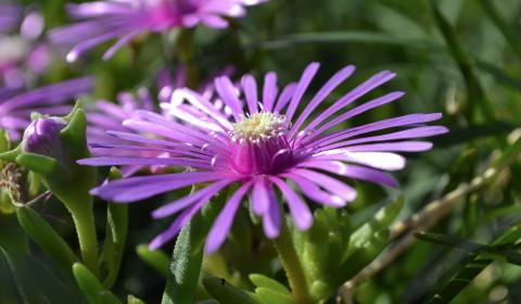光沢と紫色が特徴・マツバギク