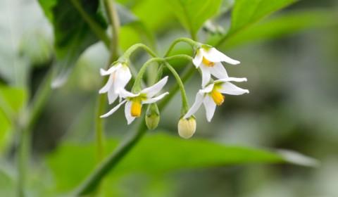 イヌホオズキの花