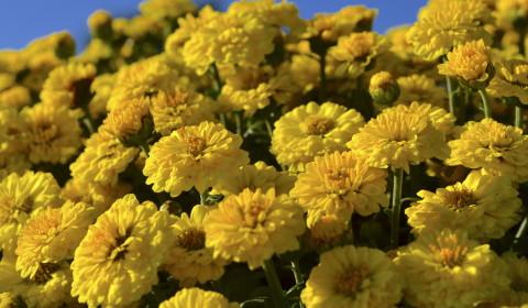 スプレー菊・黄色