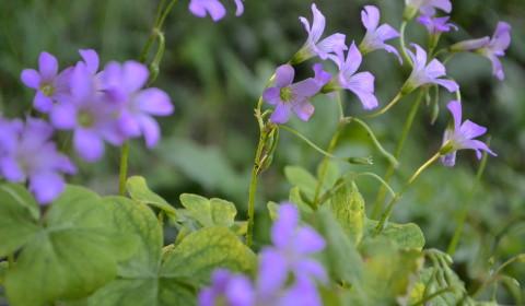 ムラサキカタバミ(紫傍食)