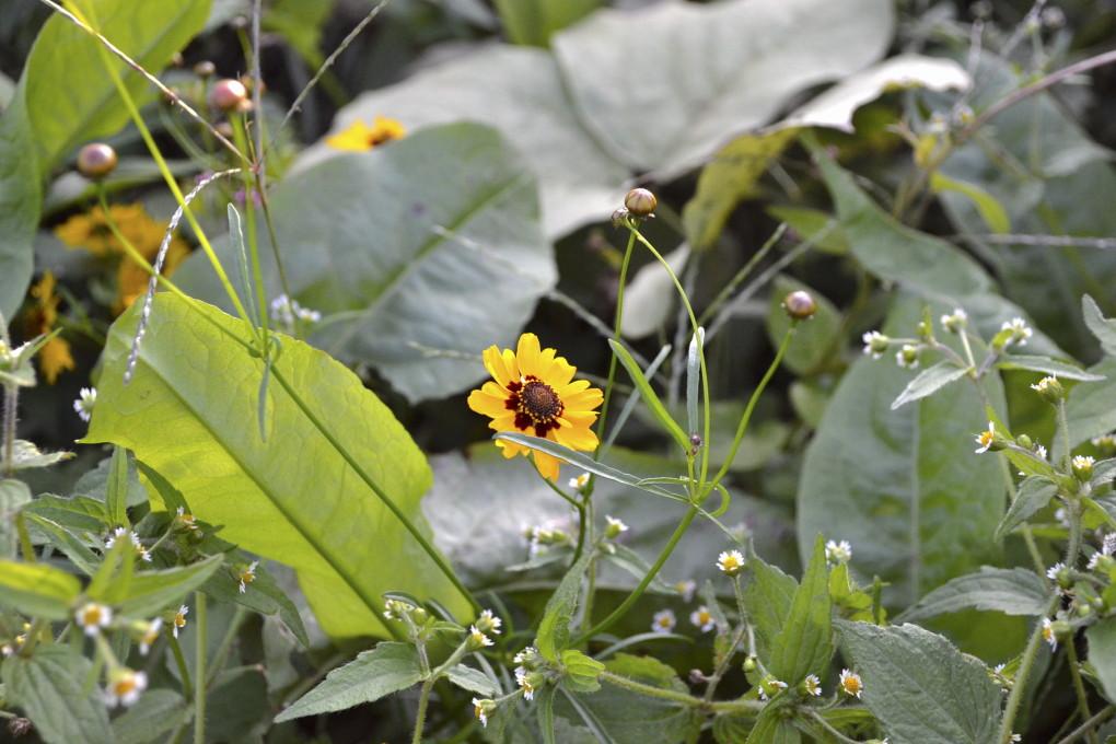 黄色い花びらと真ん中の茶色・ハルシャギク