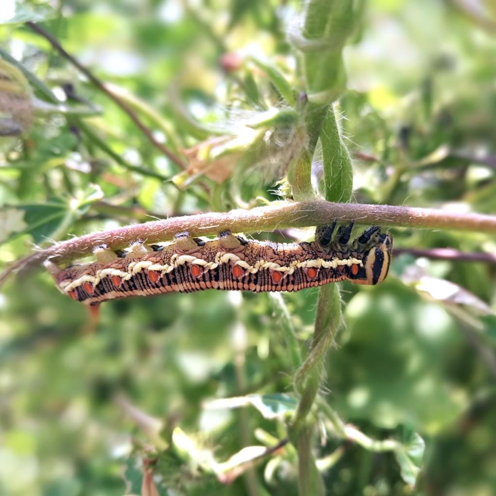 褐色のエビガラスズメの芋虫・幼虫