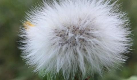 フワフワの植物・ノゲシの綿毛